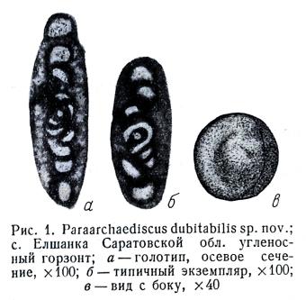 Paraarchaediscus dubitabilis Orlova, 1955