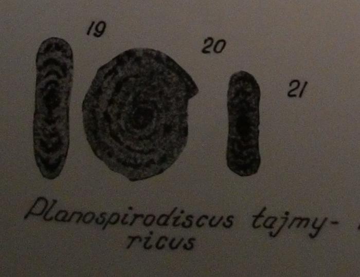 Planospirodiscus taimyricus Sosipatrova, 1962