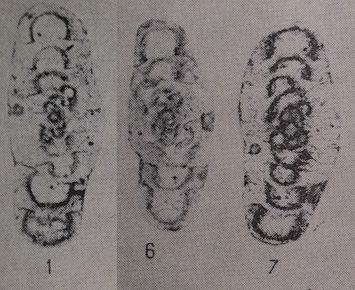 Propermodiscus dilatatus Marfenkova, 1983