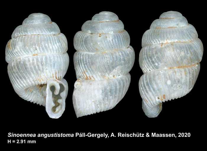 Sinoennea angustistoma Páll-Gergely, A. Reischütz & Maassen, 2020