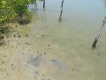 Medusae in mangrove area