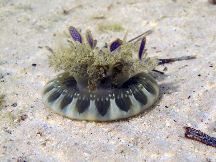 Medusa in environment