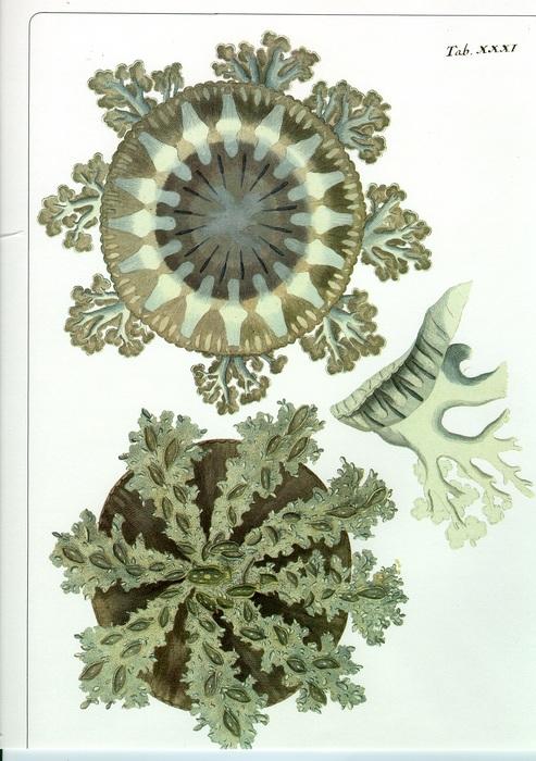 medusa plate (original from Forskal 1775)