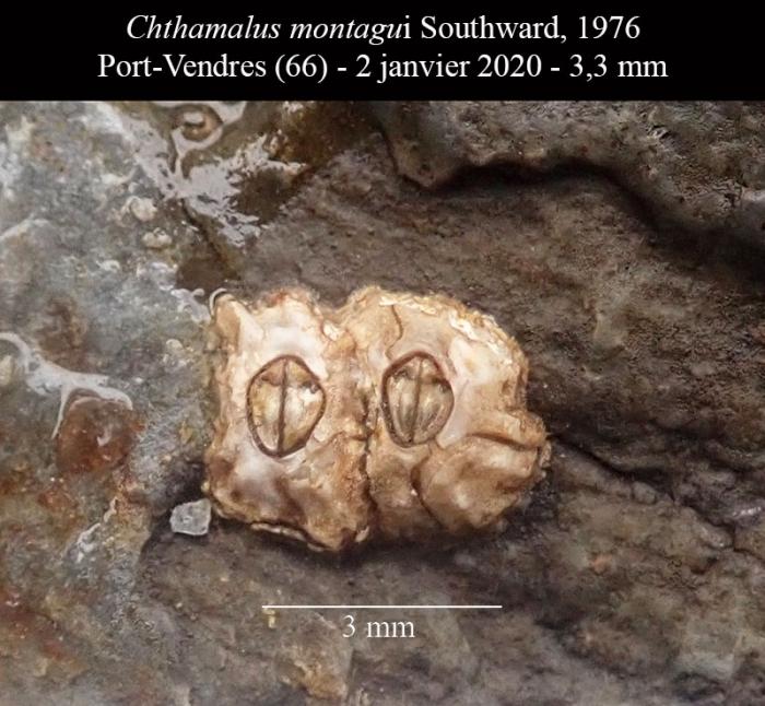 Chthamalus montagui