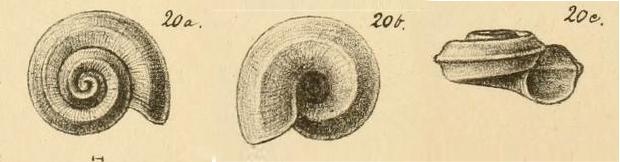 Omalaxis supranitida (Wood, 1848) sensu G.O. Sars, 1878