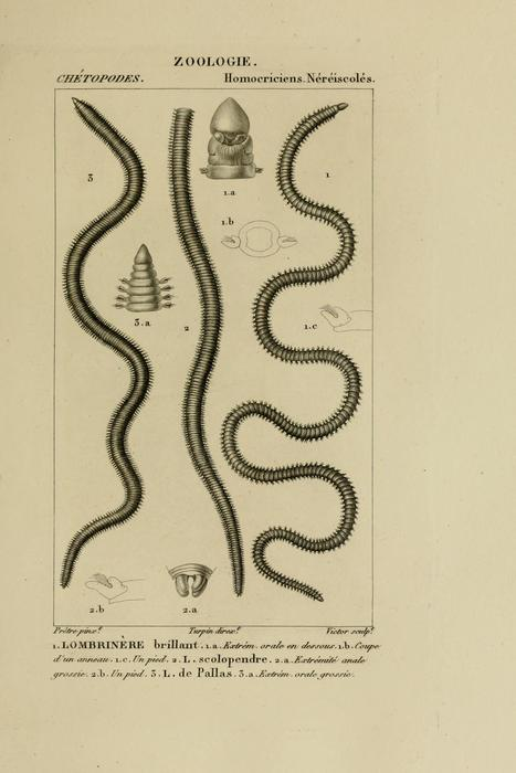 """Lumbrineris (unnumbered) plate in atlas of zoology plates of Blainville """" Dictionnaire des sciences naturelles"""" BHL Link"""