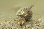 netted dog whelk
