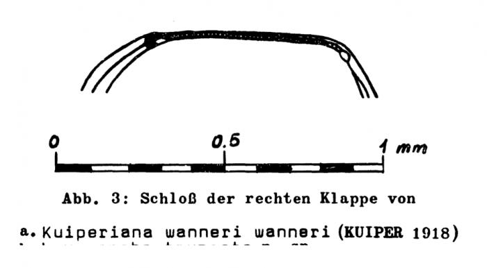 NOT types - Kuiperiana wanneri from Bassiouni, 1962
