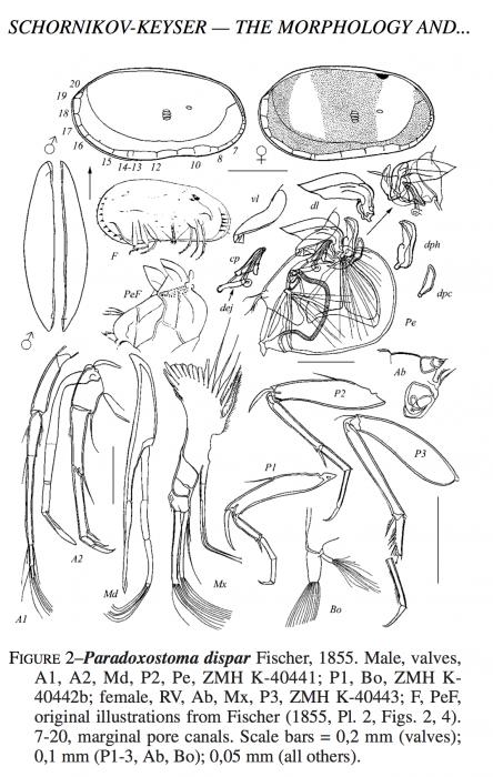 Paradoxostoma dispar neoparatypes