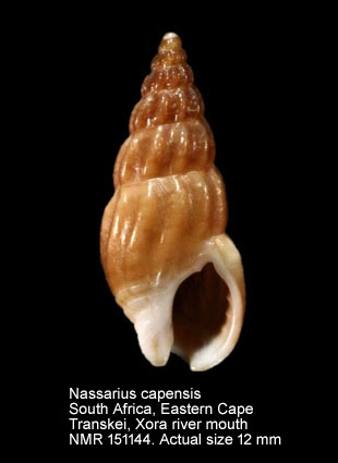 Nassarius capensis