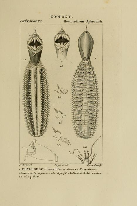 Phyllodoce maxillosa plate as modified in Blainville 1828