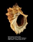Neorapana tuberculata