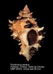 Phyllonotus peratus
