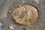 Schell of common European oyster