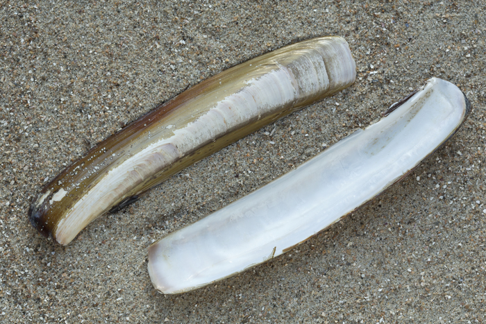 Shell Atlantic razor clam