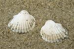 Shells of brackish cockle