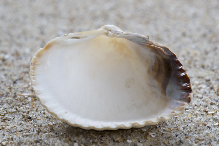 Shell of common cockle