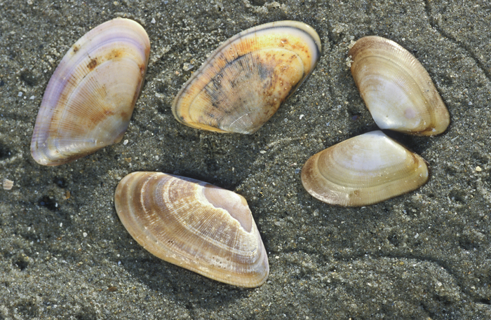 Shells of banded wedge shells