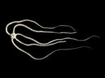 Ophiopsila xmasilluminans - The Christmas-Light Brittle Star