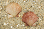 shells of queen scallop