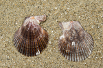 shells of variegated scallop