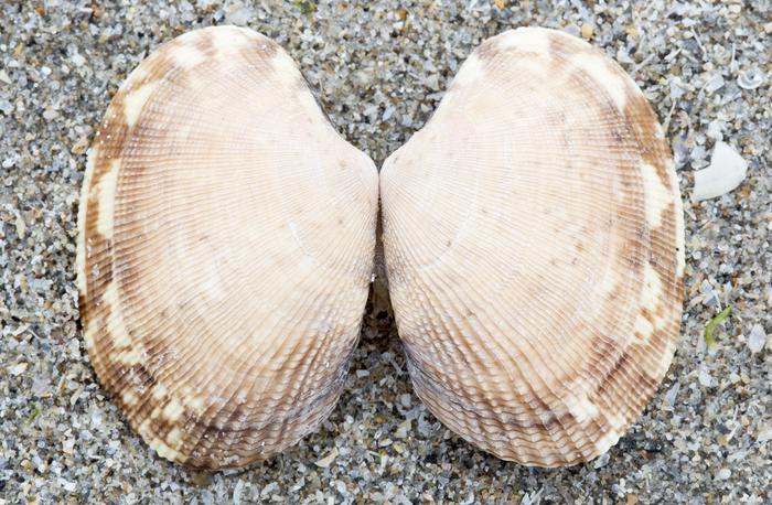 Japanese carpet shell