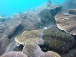 Cliona thomasi - Thomas' Coral-Eroding Sponge
