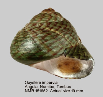 Oxystele impervia