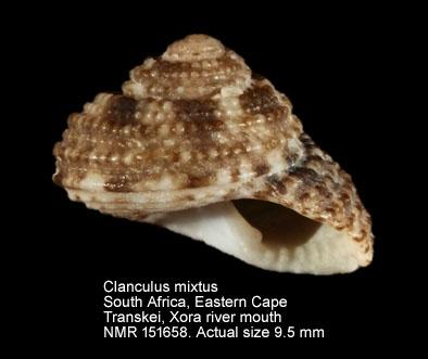 Clanculus mixtus