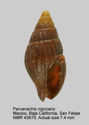 Parvanachis nigricans