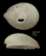 Veleropilina reticulata (Seguenza, 1876) shell from Gulf of Cadiz, INDEMARES/CHICA 0610 cruise, box-core SK1.3, 461 m (1.6 mm)