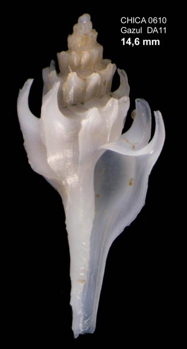 Pagodula echinata  (Kiener, 1839)Gulf of Cadiz, INDEMARES/CHICA 0610 cruise, dredge DA11, 461 m (14.6 mm)