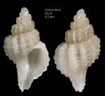 Trophonopsis barvicensis  (Johnston, 1825)Gulf of Cadiz, INDEMARES/CHICA 0610 cruise, dredge DA10, 390 m (5.3 mm)