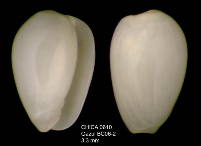 Gibberula turgidula (Locard and Caziot, 1900)Gulf of Cadiz, INDEMARES/CHICA 0610 cruise, box-core BC6.2 (3.3 mm)