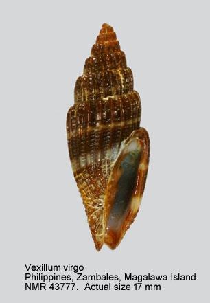Vexillum crebriliratum
