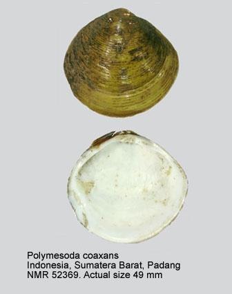 Polymesoda coaxans