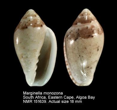 Marginella monozona