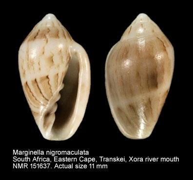 Marginella nigromaculata