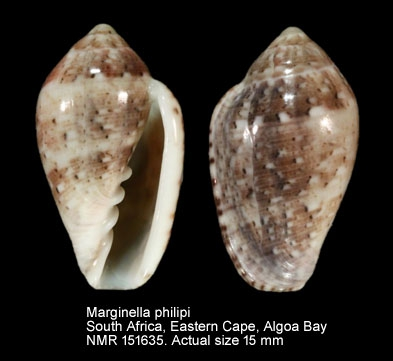 Marginella philipi