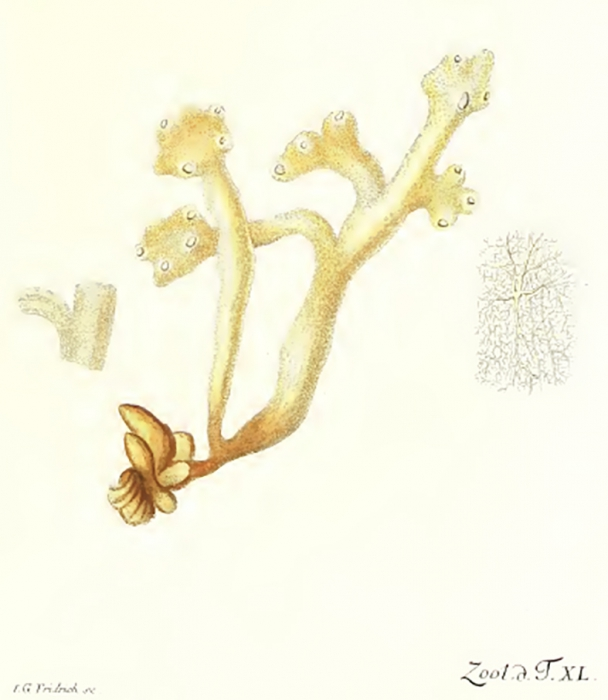 Spongia ossiformis Müller