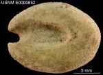 Aceste ovata (USNM E852) 003