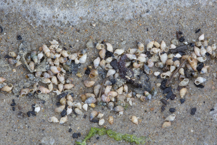 Beached shells of laver spire shell