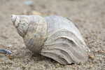 Fossile shell of whelk