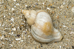 Shell of red whelk