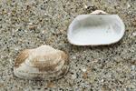 Shells milky-white ark
