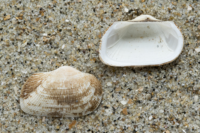 Shells milky-white ark