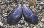 Shells blue mussel