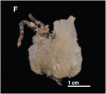 Sample MNHN-IP-2018-92 from Gorringe Seamount