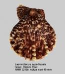 Laevichlamys superficialis