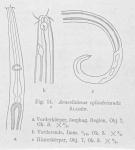 Araeolaimus longicauda